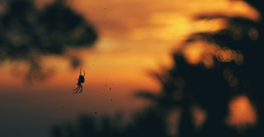 Spider at sunset thumbnail