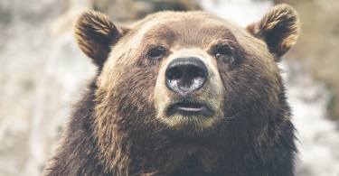Brown bear face thumbnail