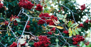 Red berries cluster thumbnail